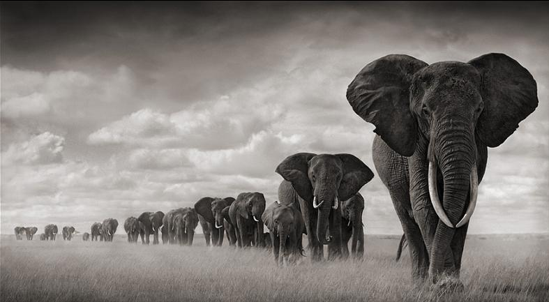 elephants-travelling-in-line