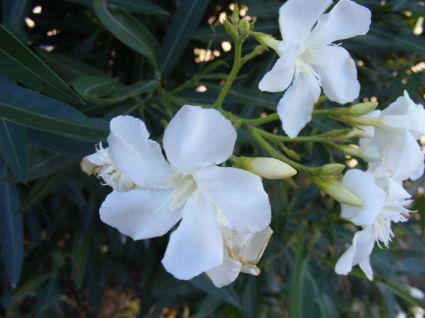 normal_arbusto_con_flores_blancas_2