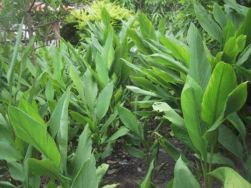 Curcuma-planta