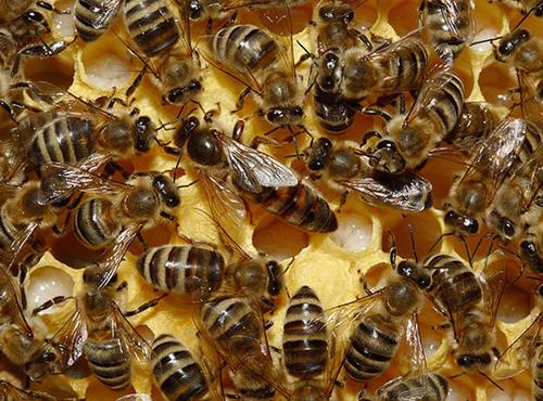 abeja-reina