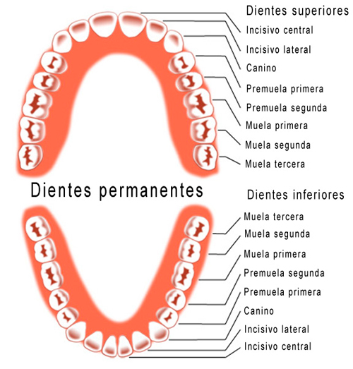 dientes permanentes
