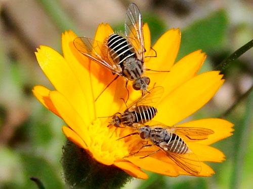 flor invadida por abejas