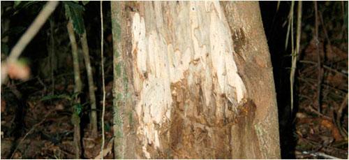 madera de oud