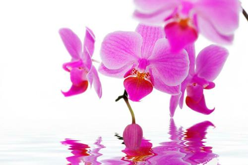 orquidea-radiante-perfumes