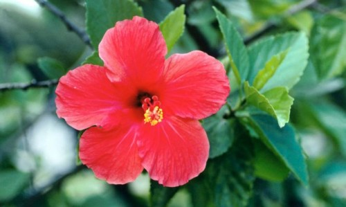 hibisco-cosmetica