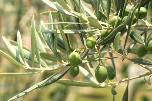 olivo-y-aceitunas