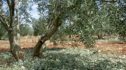 cosmetica de aceite de oliva virgen extra