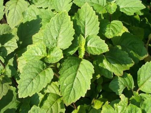Planta de patchouli