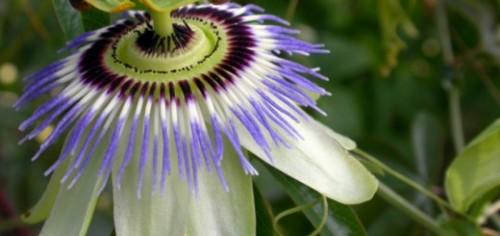 La Passiflora pasionaria es una flor marciana que trepa en enredadera y de hoja caduca.