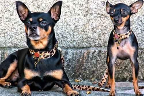 Zanzibar Collection de Barcelona Dogs