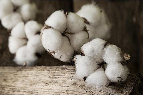 flor de algodonero