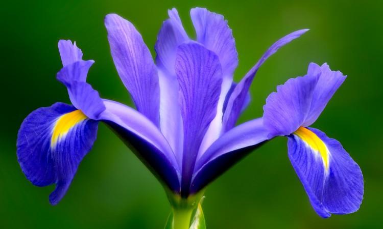 flor de iris florentina