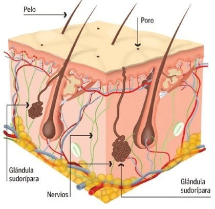 glándula sudoríparas