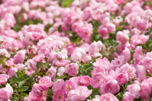 rosas cosmetica cremas