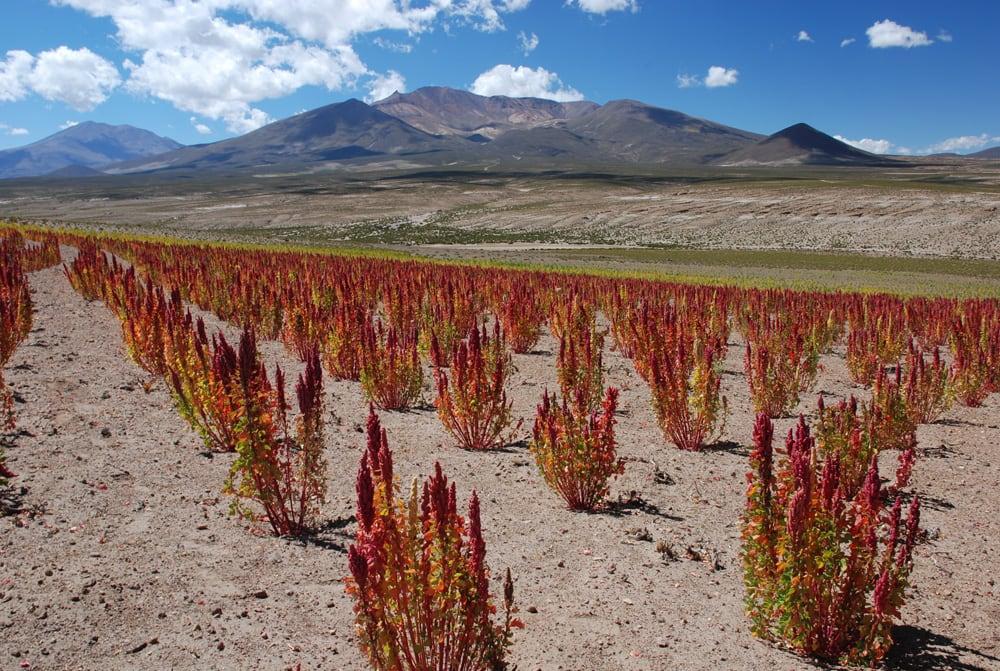 cultivo-de-quinoa