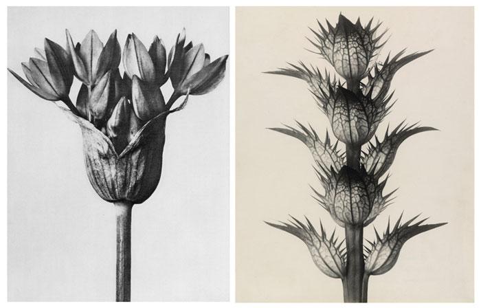 loewe-001-karl-blossfeldt