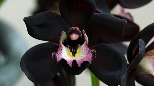 orquidea negra, efecto flash