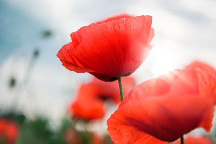 Dia De La Amapola Flower Kenzo Cruz Roja