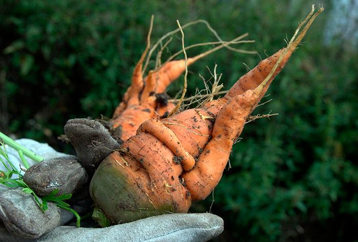 Zanahoria Fea