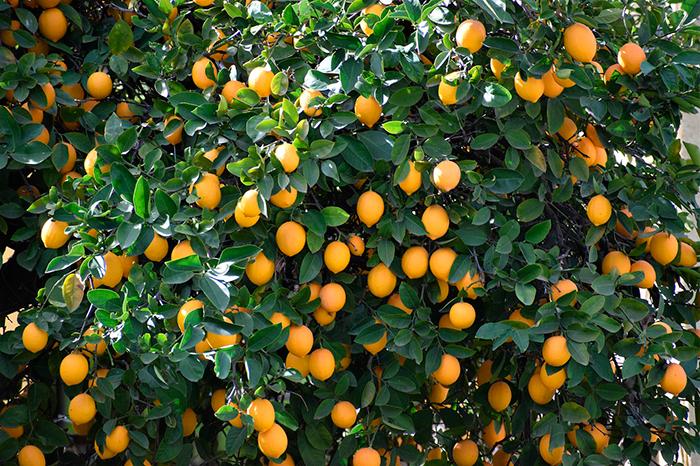Limonero limón aroma fresco