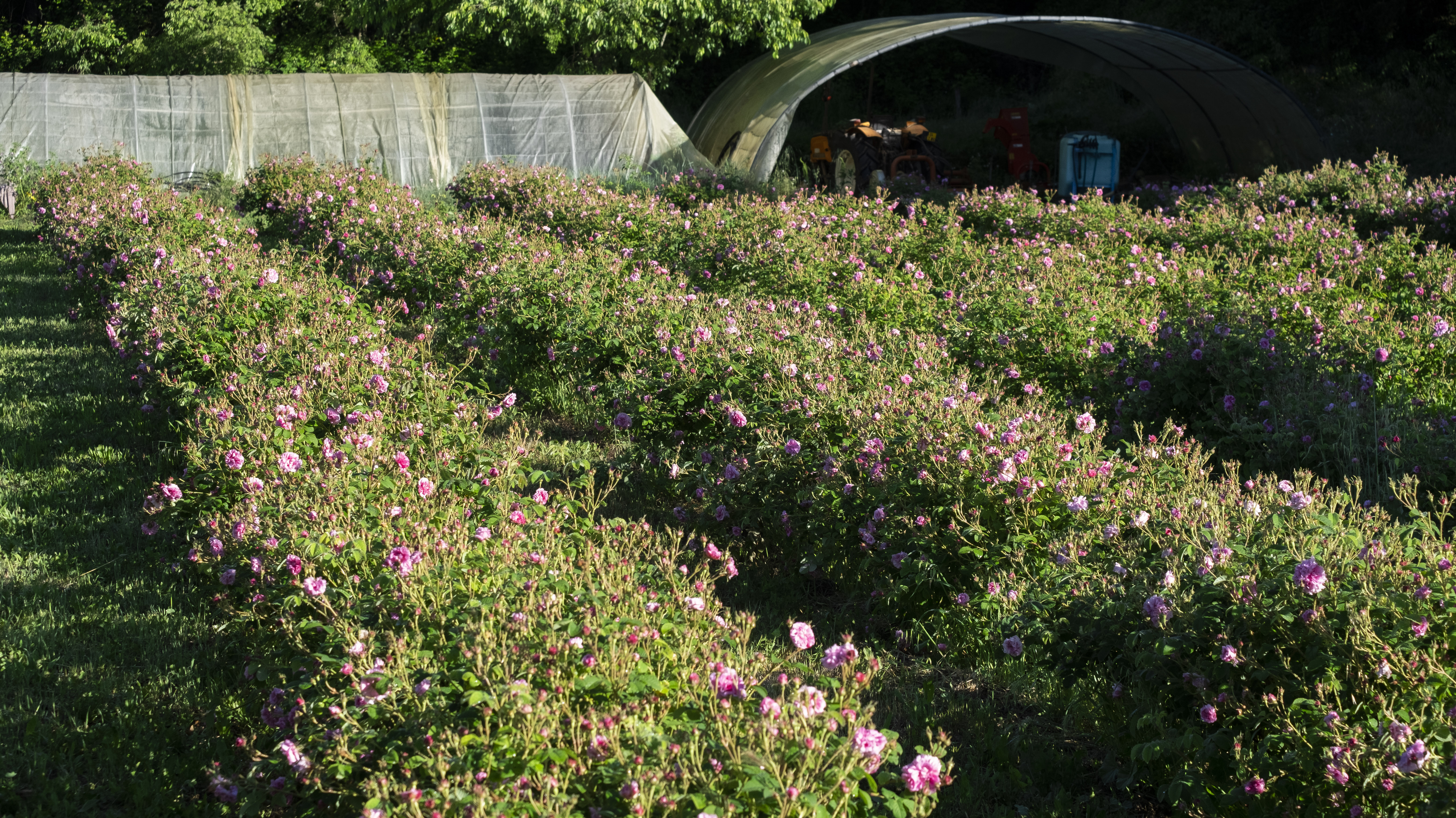 Grasse Lancome Roses 2020 (4)