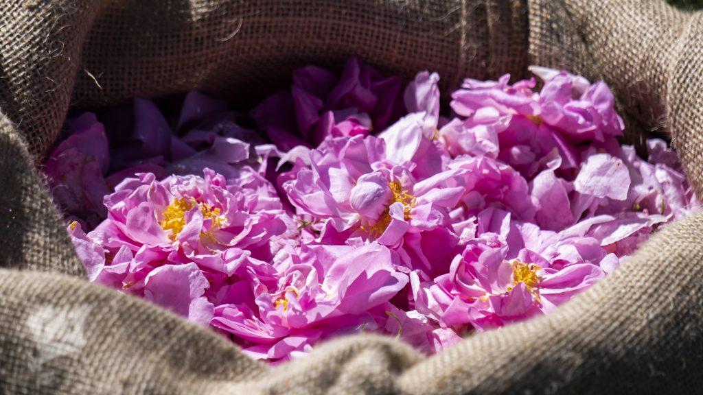 Grasse Lancome Roses 2020 (6)