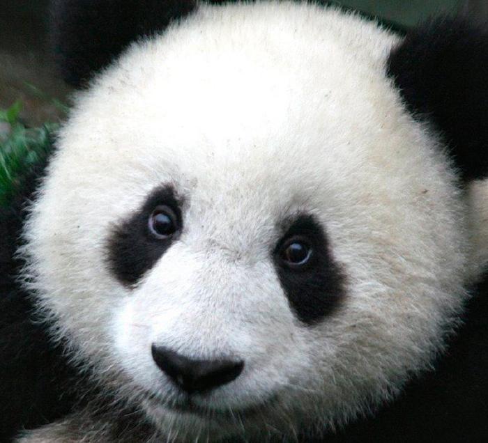 Ojos Panda