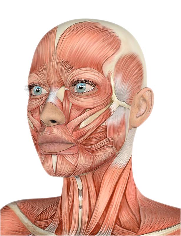 Músculos Cara