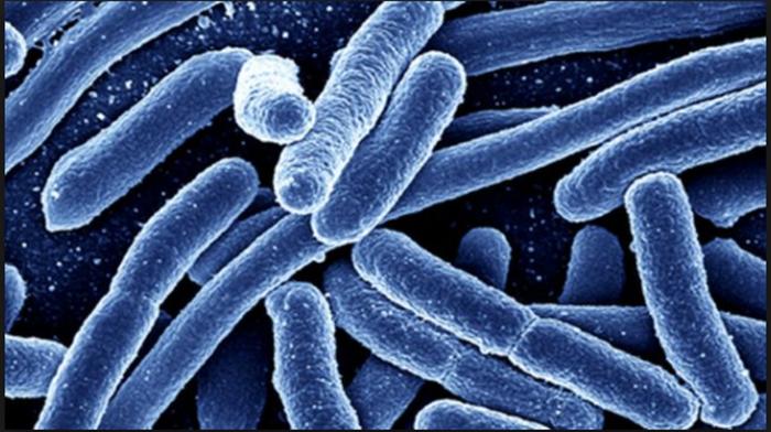 probiótico contra la obesidad